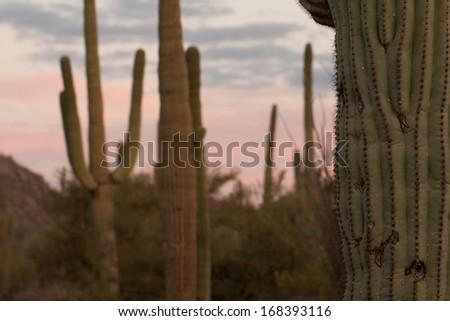 Saguaro Cactus at sunset in Tucson, Arizona - stock photo