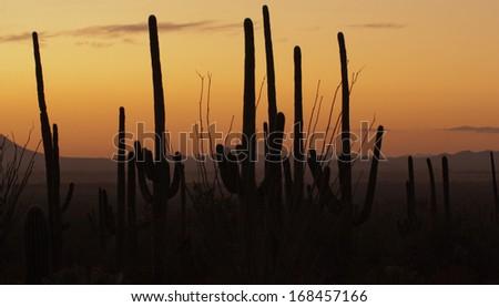 Saguaro cactus forest at dusk in Tucson, Arizona - stock photo