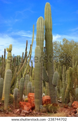 Saguaro Cactus Garden in Phoenix, Arizona Desert - stock photo