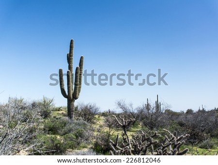 Saguaro cactus in Phoenix, USA - stock photo