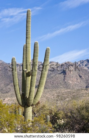 Saguaro Cactus in Sabino Canyon in Tucson, Arizona