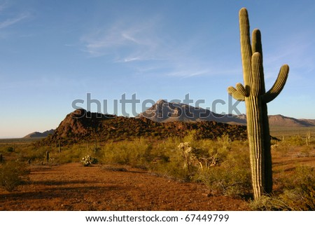 Saguaro Cactus in Sonoran Desert Arizona - stock photo