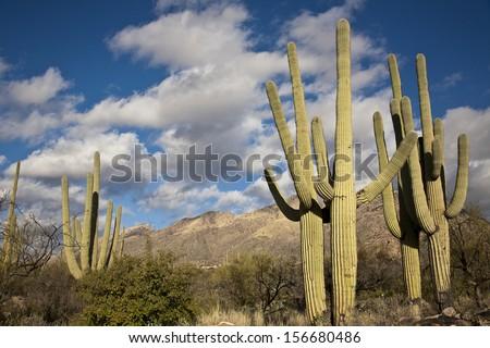 Saguaro cactus on the mountainside in Tuscon, Arizona - stock photo
