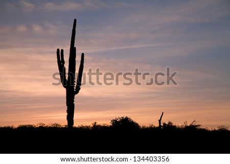 Saguaro Cactus Silhouetted in Sunrise