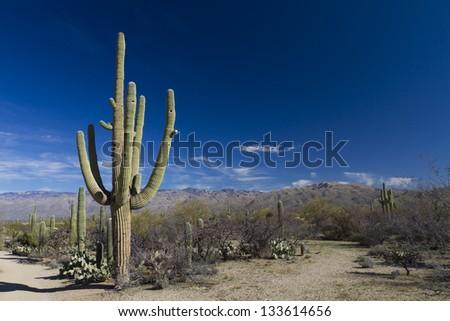 Saguaro in landscape II - stock photo