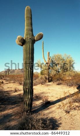 Saguaros in the Arizona desert mountains - stock photo
