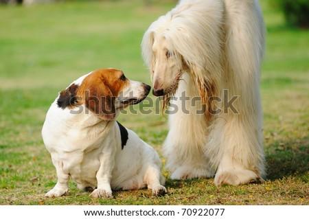 Saint Bernard and Afghan hound dogs playing together - stock photo