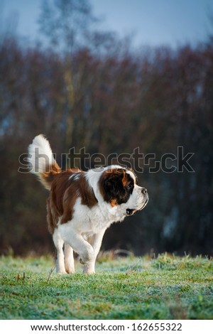 Saint bernard dog in frosty morning on the field - stock photo