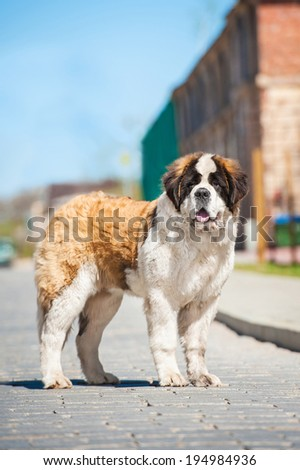 Saint bernard dog in the city - stock photo