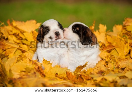 Saint bernard puppies kissing - stock photo