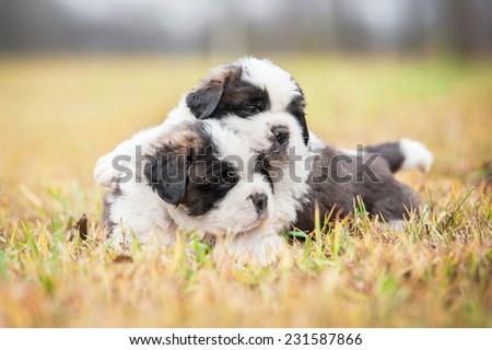 Saint bernard puppies outdoors - stock photo