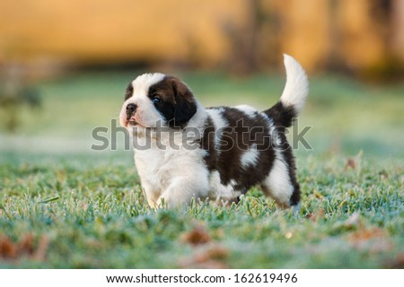 Saint bernard puppy - stock photo