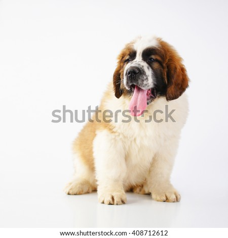 Saint Bernard puppy (2 months) isolated on white