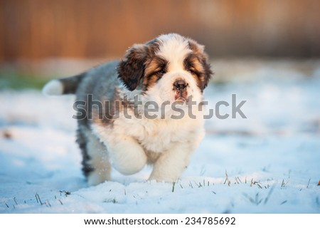Saint bernard puppy running in winter