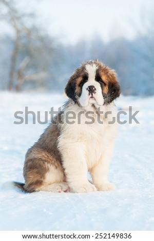 Saint bernard puppy sitting in winter - stock photo