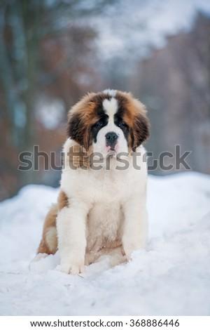 Saint bernard puppy sitting outdoors in winter - stock photo