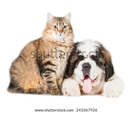 Saint bernard puppy with adult tabby cat - stock photo