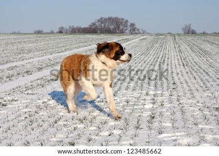 Saint bernard running - stock photo