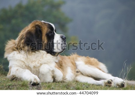 Saint-Bernard sitting on a meadow - side view - stock photo
