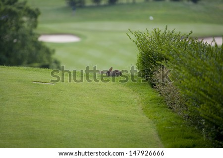 SAINT-OMER, FRANCE. 16-06-2010, Rabbits on the 10th tee during the European Tour, 14th Open de Saint-Omer, part of the Race to Dubai tournament and played at the AA Saint-Omer Golf Club . - stock photo