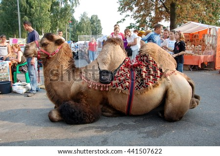 SAINT-PETERSBURG, RUSSIA - AUGUST 28, 2011 - A camel on  Agricultural Fair in St. Petersburg, Russia