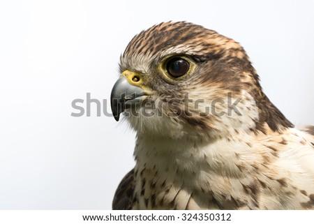Saker Falcon head shot with white background - stock photo