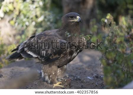 Saker Falcon with prey - stock photo