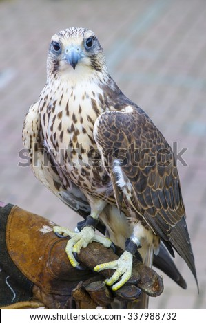 saker hawks - stock photo