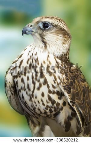 saker hawks - stock photo