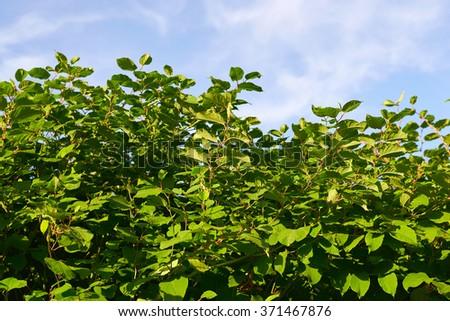 Sakhalin Knotweed or Fallopia sachalinensis in summer - stock photo