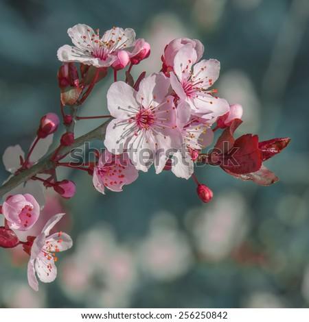 sakura - stock photo