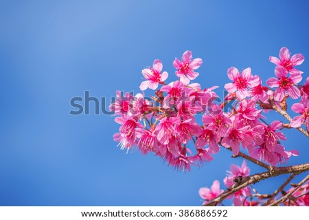 sakura beautiful pink flower - stock photo