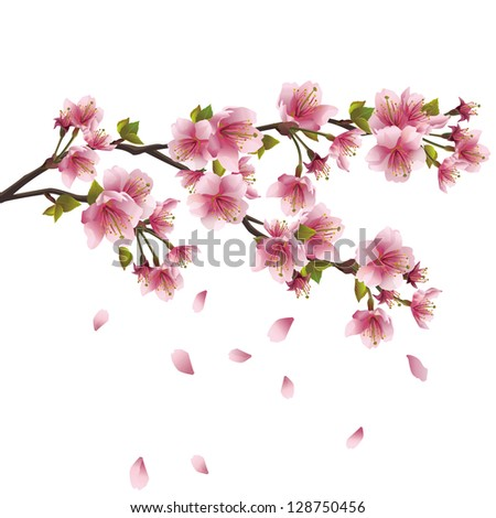 Sakura blossom pink - Japanese cherry tree with flying petals isolated on white background. Raster version