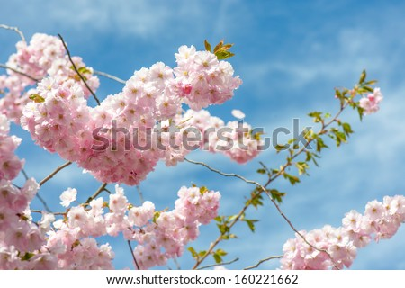 sakura cherry blossom - stock photo