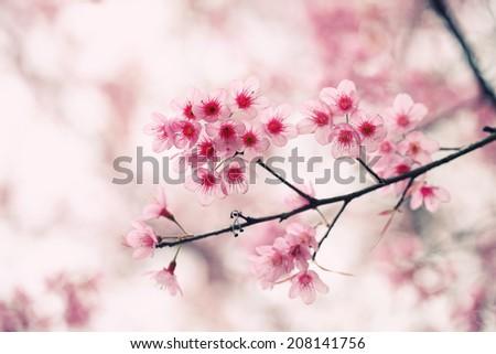 sakura cherry blossom flowers - stock photo