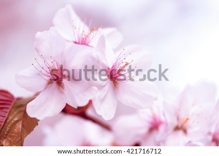 Sakura. Cherry Blossom in Springtime. Beautiful White Flowers