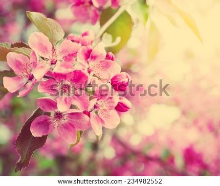 sakura. cherry blossom in springtime. Retro stale. - stock photo
