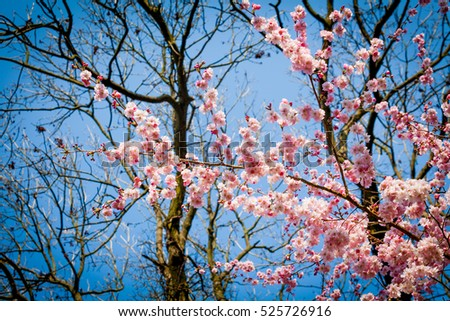 Sakura flower on nature background. pink spring blossom background. Beautiful Background