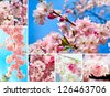 Sakura flowers blooming.  Beautiful flowering Japanese cherry. Spring cherry blossoms - stock photo