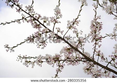 Sakura flowers blooming. Beautiful pink cherry blossom in Vilnius city. - stock photo