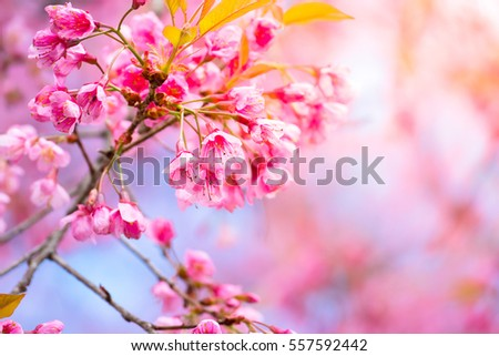 Sakura flowers blooming blossom in Chiang Mai, Thailand, nature background