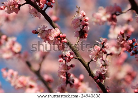 Sakura flowers & buds - stock photo