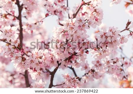 sakura in bloom close up photo, warm colors - stock photo