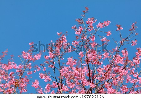 Sakura in the spring garden. Pink flowers.beautiful cherry blossom in daylight with clear blue sky,chiang mai north of thailand  - stock photo