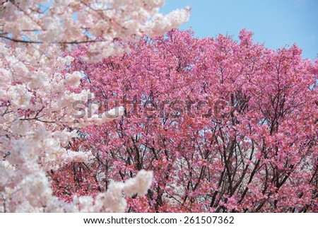 Sakura or Cherry blossom - stock photo