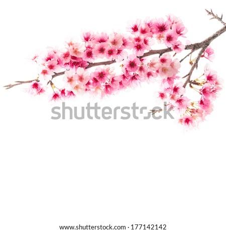 Sakura or Cherry blossom flower isolated on white background - stock photo