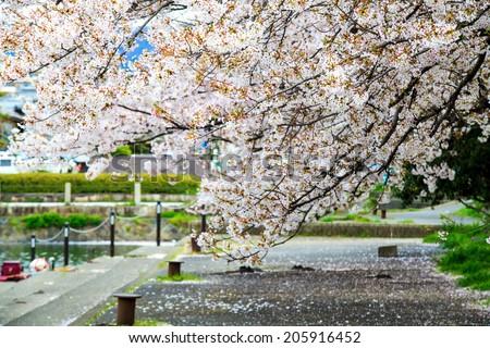 Sakura season in Kyoto, Japan for adv or others purpose use - stock photo