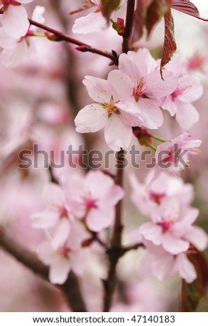 Sakura spring blossoms with shallow depth of field - stock photo