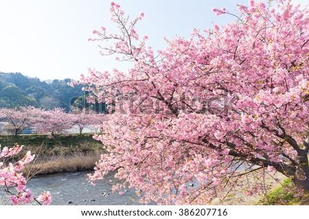 Sakura tree and river - stock photo