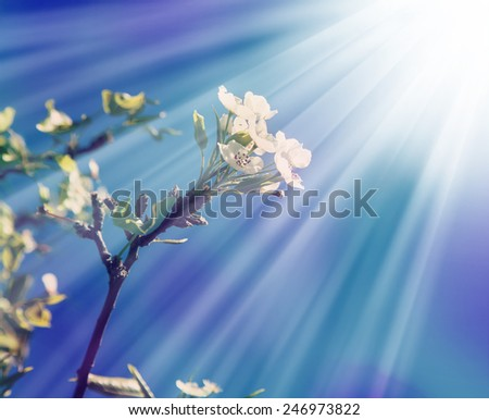Sakura tree branch in bloom. Pink Japanese cherry blossoms in spring with sky background - stock photo